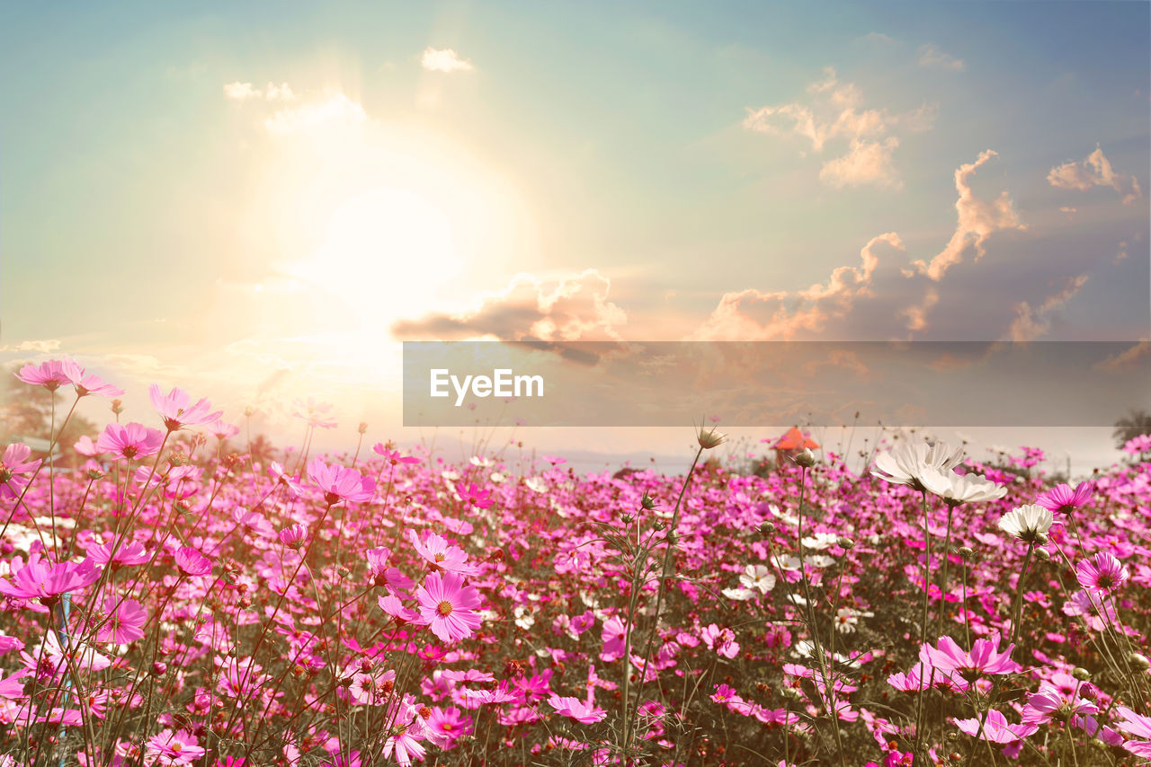 Pink flowering plants on field against sky during sunset