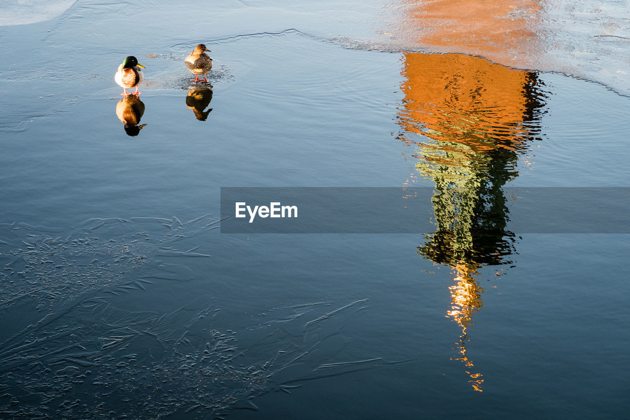 High angle view mallard ducks on lakeshore