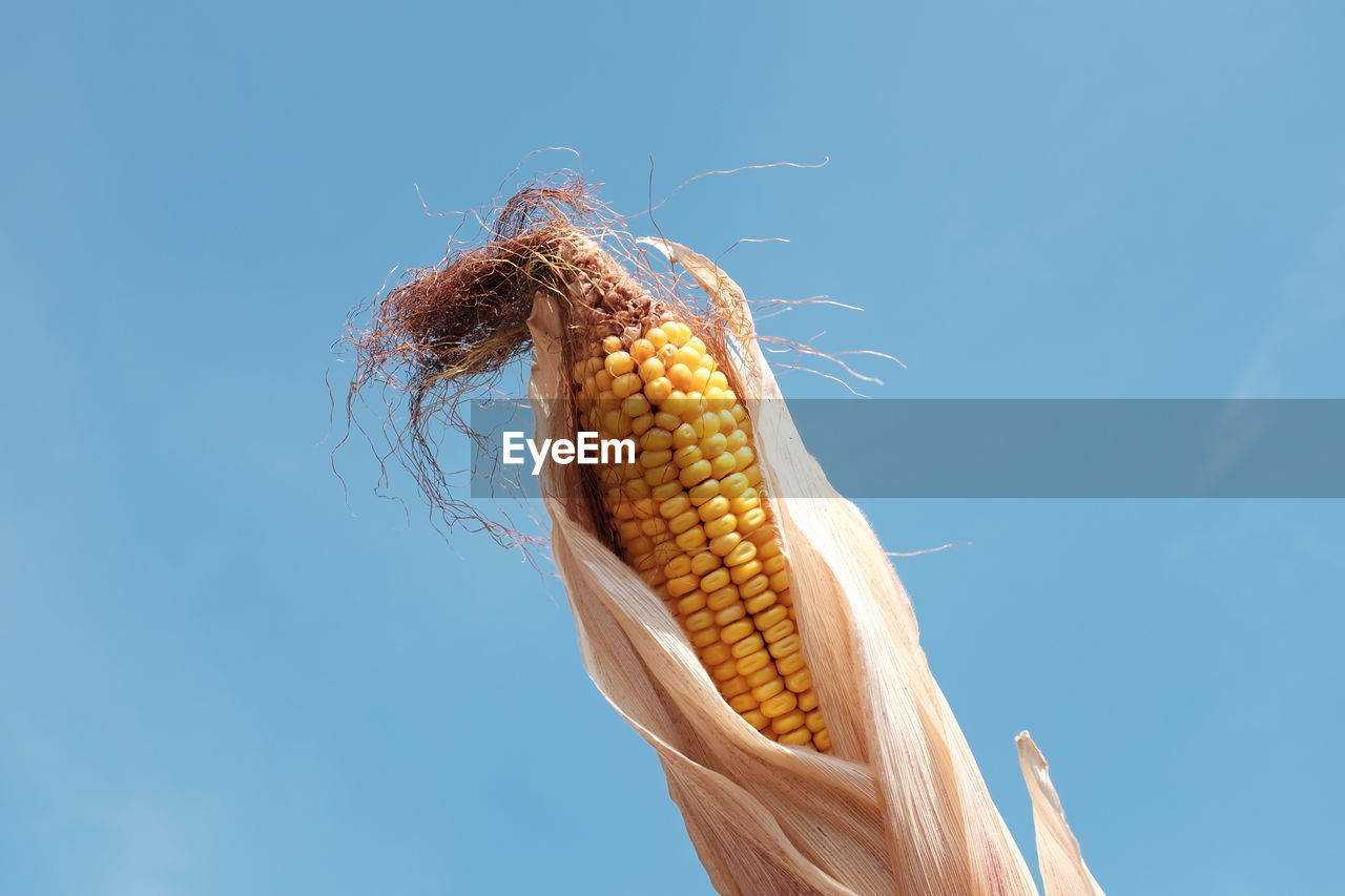 Close-Up Of Corn Against Clear Blue Sky