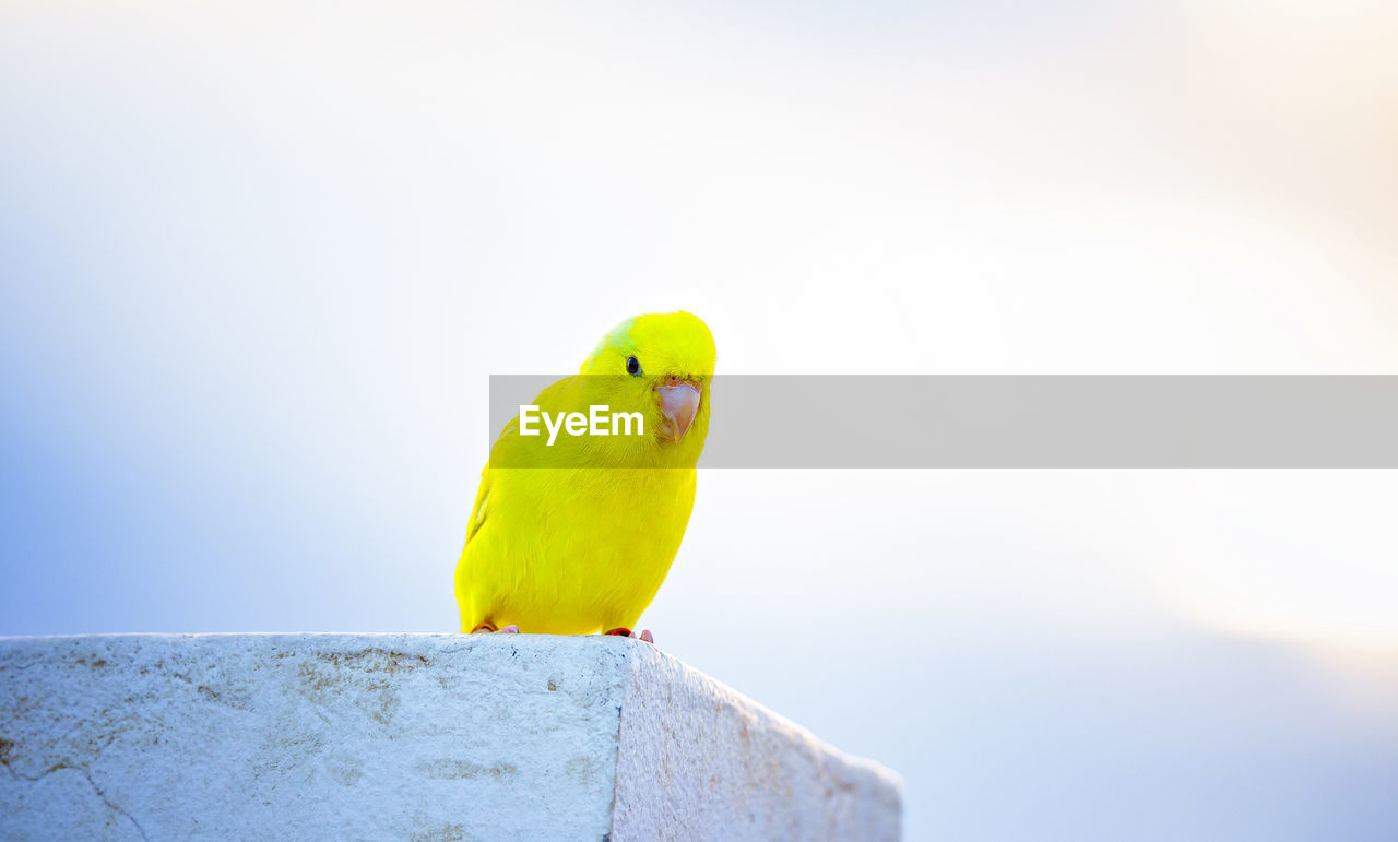 vertebrate, animal themes, bird, animal, animal wildlife, yellow, animals in the wild, one animal, perching, parrot, copy space, sky, no people, day, nature, parakeet, close-up, outdoors, focus on foreground, green color