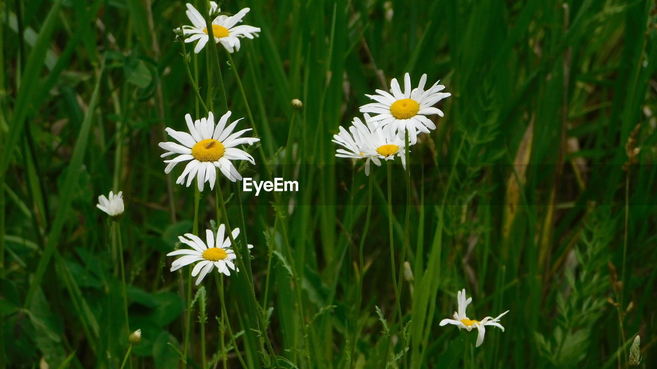 flowering plant, flower, plant, freshness, fragility, vulnerability, beauty in nature, petal, growth, flower head, inflorescence, field, white color, nature, close-up, no people, green color, day, land, yellow, outdoors, pollen
