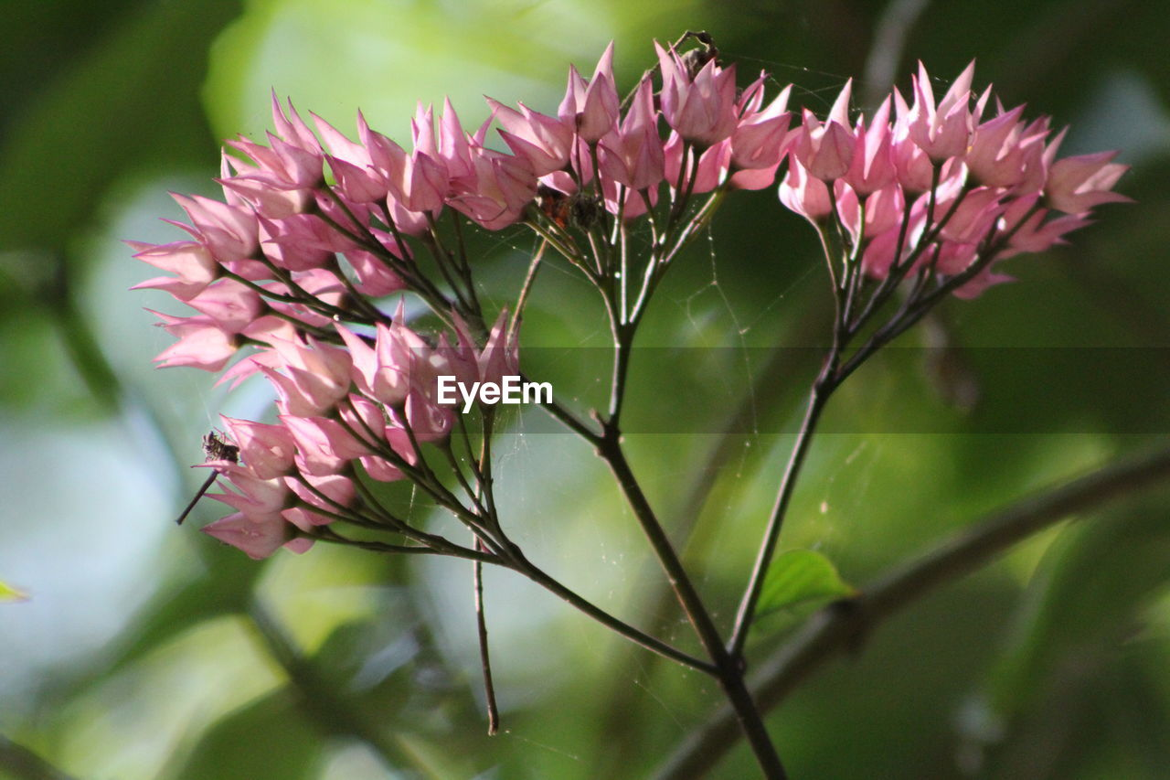 CLOSE-UP OF PINK FLOWER PLANT