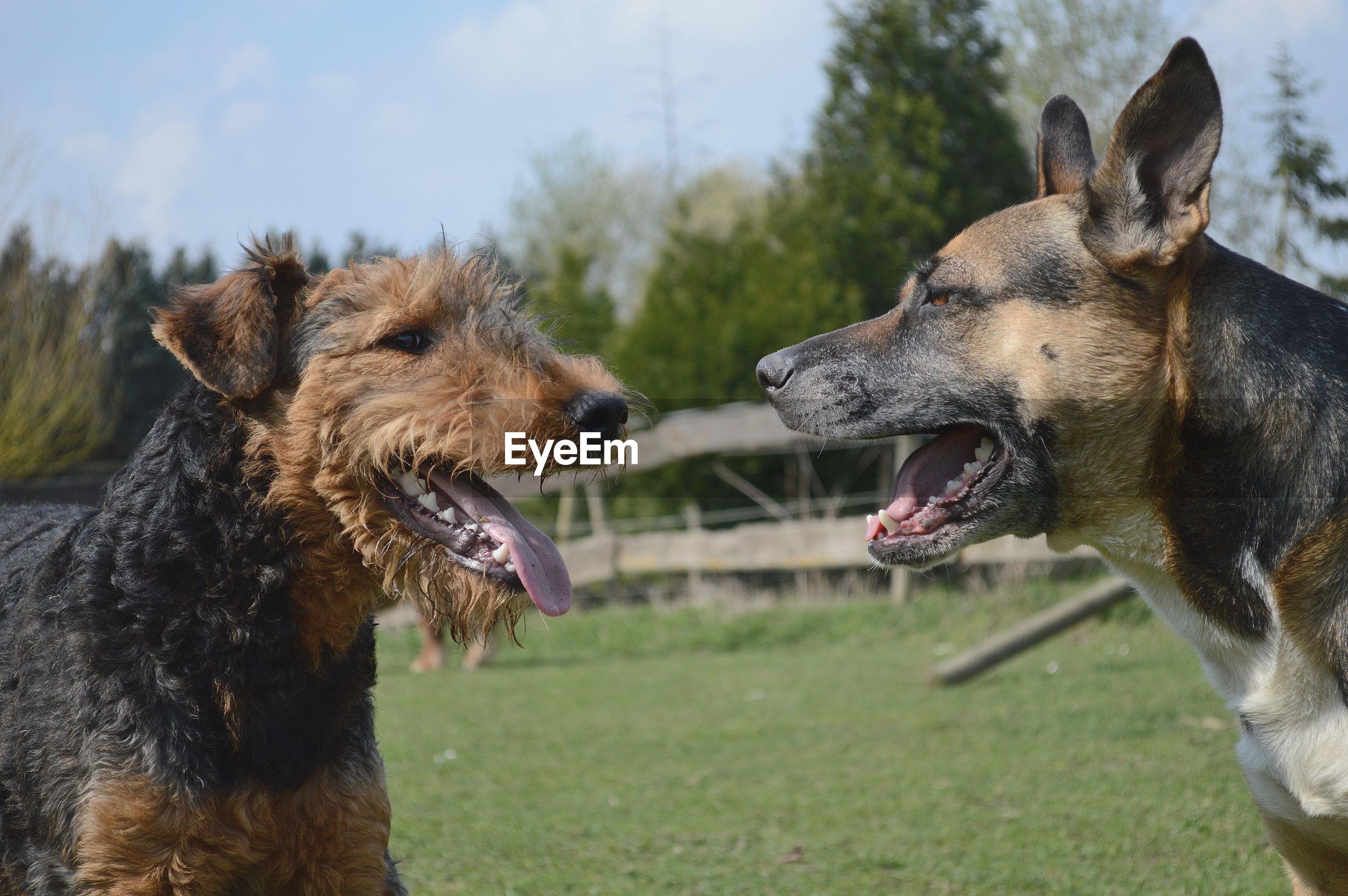 Dogs barking on field