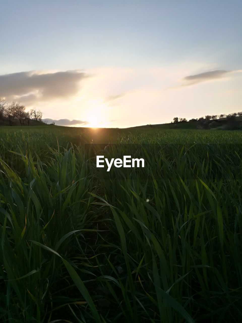 field, agriculture, growth, nature, sunset, farm, crop, sun, tranquility, cereal plant, landscape, sky, tranquil scene, scenics, sunlight, rural scene, beauty in nature, sunbeam, no people, outdoors, plant, wheat, grass, ear of wheat, day