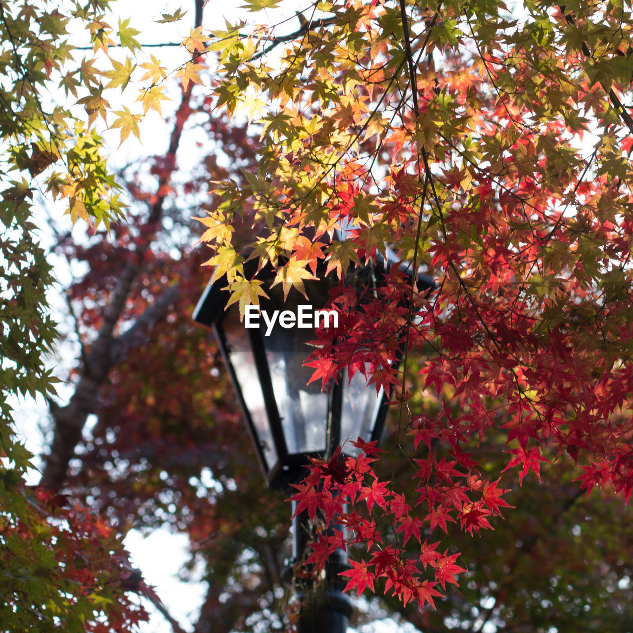tree, plant, autumn, change, growth, branch, low angle view, day, leaf, plant part, no people, beauty in nature, nature, focus on foreground, outdoors, maple tree, maple leaf, close-up, tranquility, orange color, natural condition, fall
