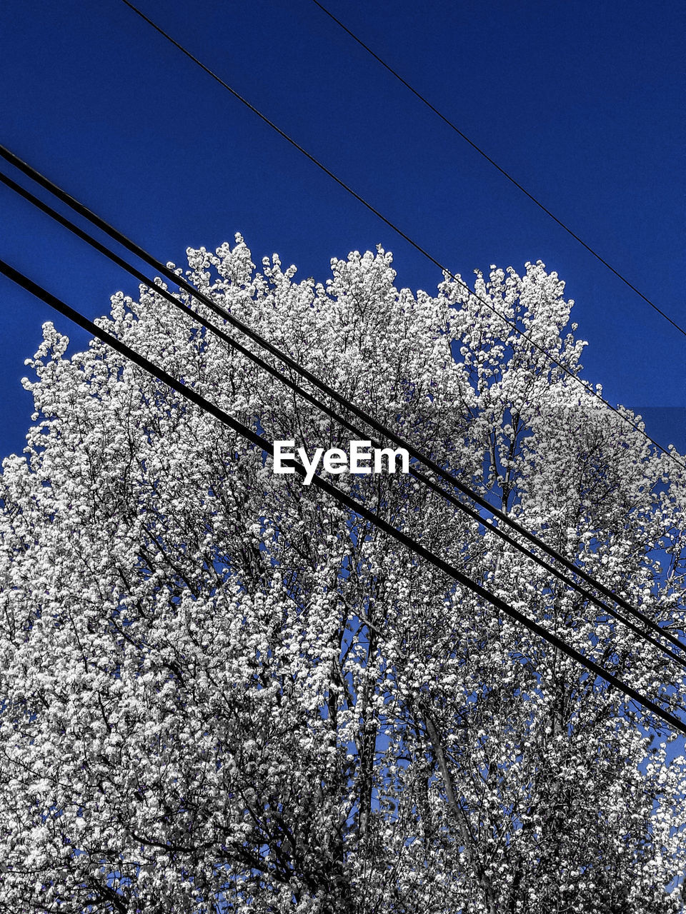 flower, low angle view, blossom, tree, nature, fragility, growth, beauty in nature, springtime, day, cable, branch, no people, blue, freshness, apple blossom, white color, outdoors, clear sky, sky, close-up