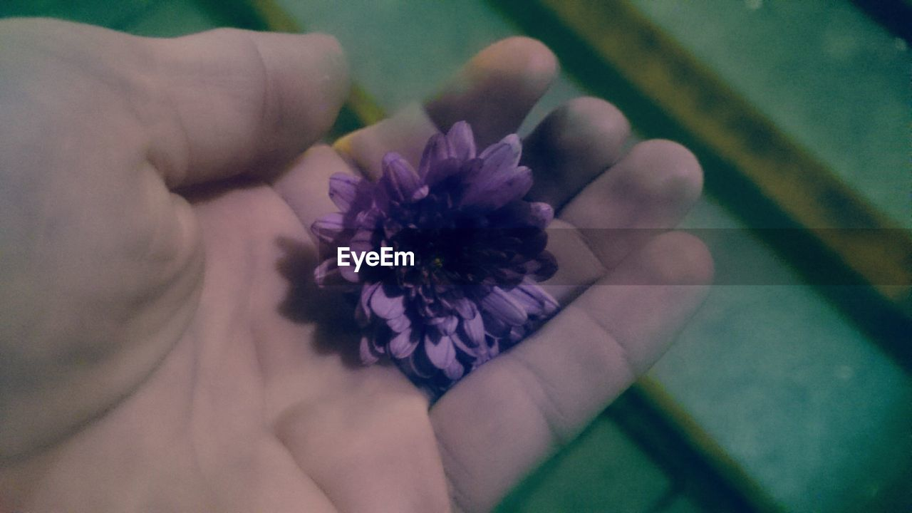 flower, human hand, human body part, one person, real people, close-up, fragility, indoors, freshness, flower head, day, people