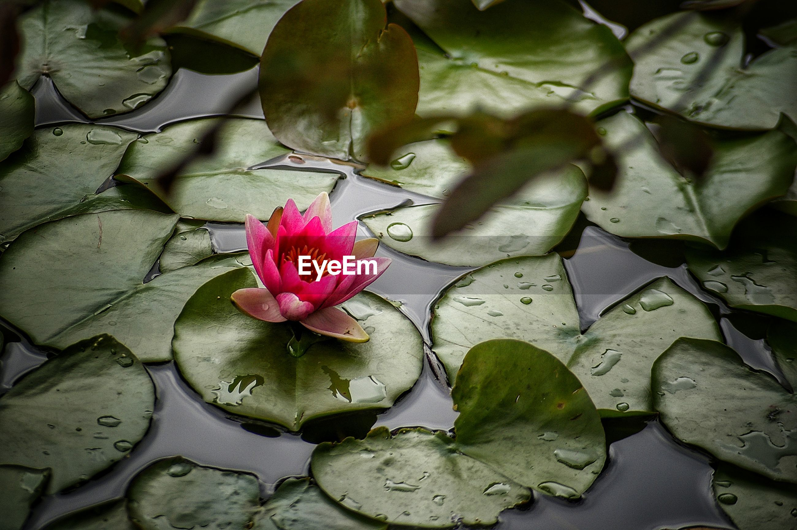 High angle view of pink water lily in pond