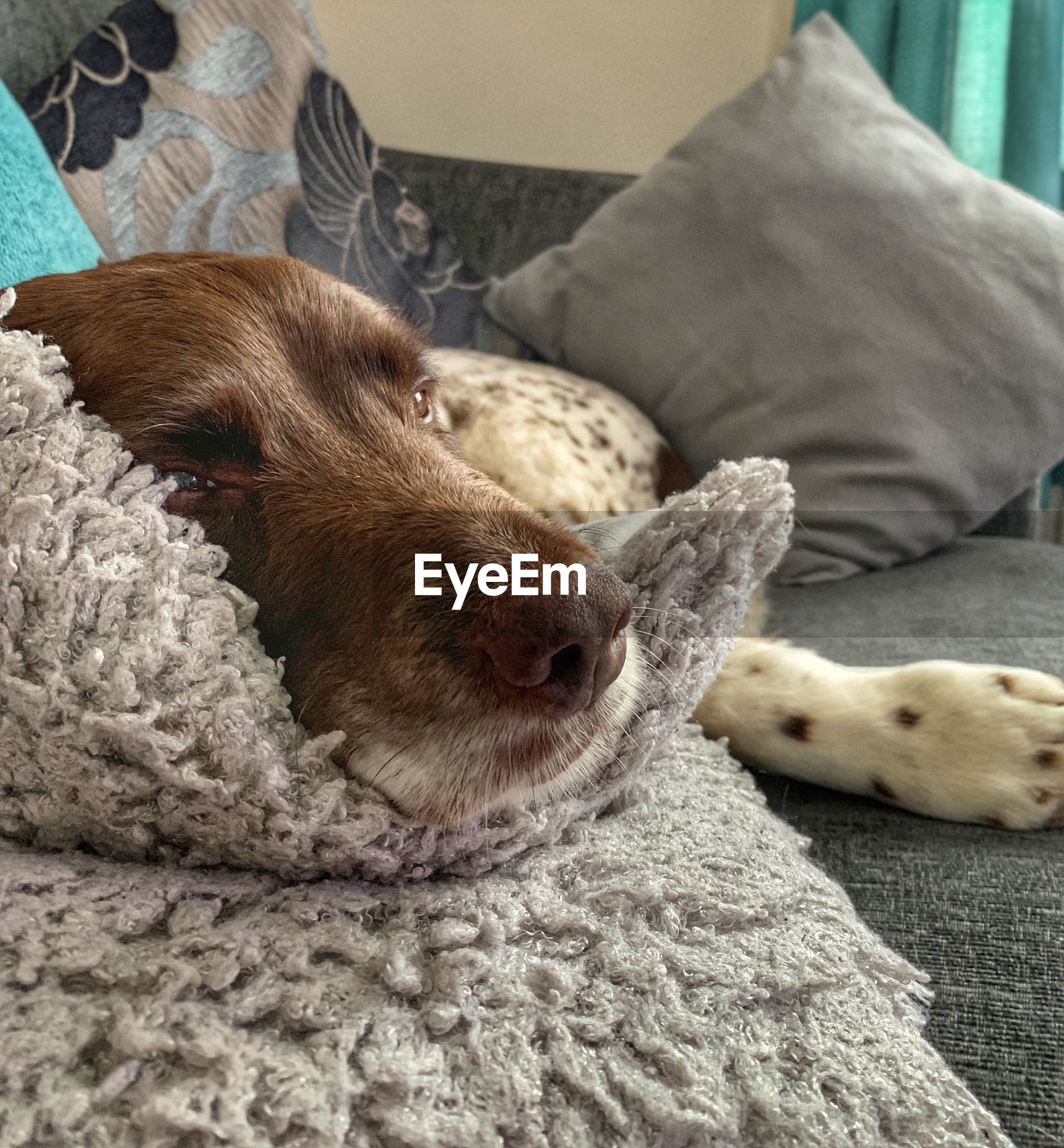 mammal, domestic, pets, domestic animals, animal themes, animal, furniture, one animal, relaxation, indoors, vertebrate, bed, dog, canine, home interior, lying down, no people, resting, sleeping, close-up, animal head