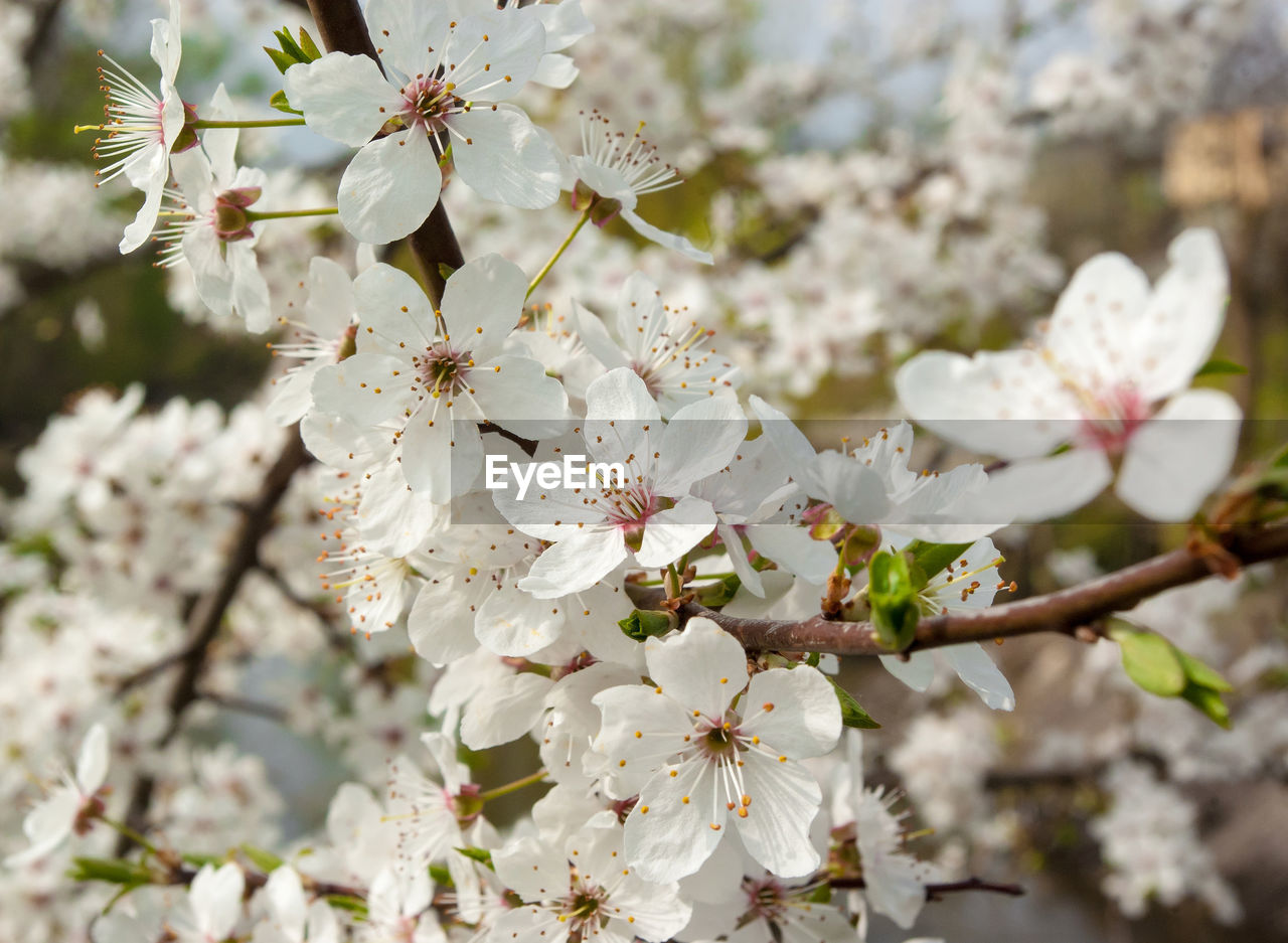flowering plant, flower, fragility, plant, freshness, vulnerability, growth, beauty in nature, blossom, tree, springtime, white color, cherry blossom, branch, petal, close-up, nature, inflorescence, day, fruit tree, pollen, flower head, no people, cherry tree, outdoors, spring, bunch of flowers