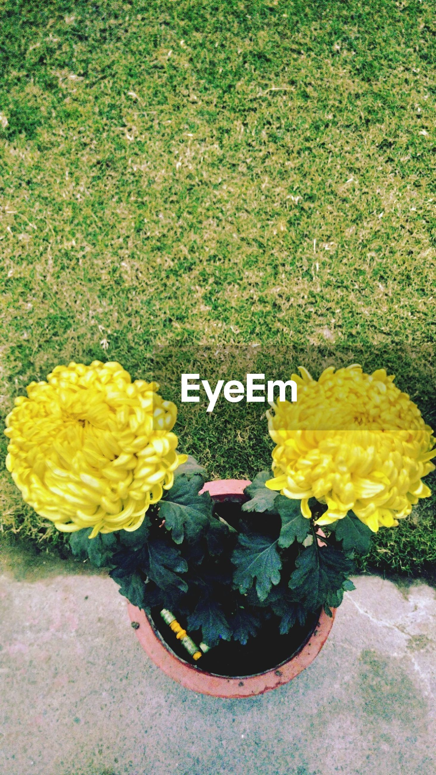 yellow, flower, high angle view, freshness, growth, fragility, plant, nature, beauty in nature, field, petal, day, outdoors, green color, leaf, directly above, no people, flower head, grass, sunlight