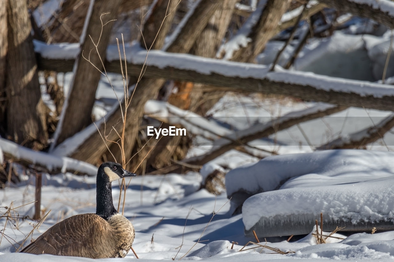 winter, cold temperature, snow, no people, day, focus on foreground, animal, covering, frozen, one animal, animal themes, nature, vertebrate, mammal, close-up, land, field, outdoors, white color