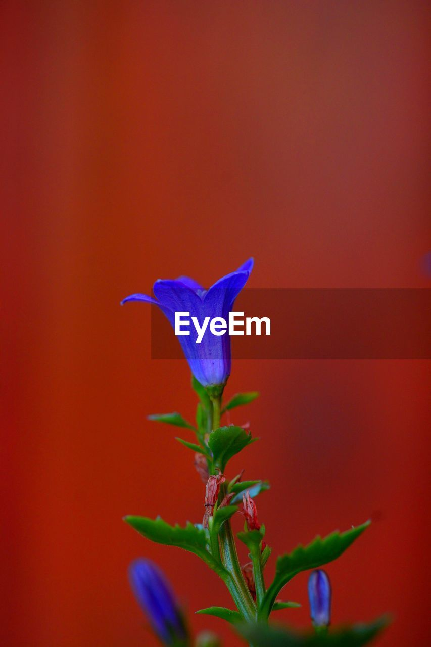 plant, vulnerability, fragility, flowering plant, flower, close-up, petal, beauty in nature, growth, freshness, no people, flower head, inflorescence, nature, leaf, plant part, plant stem, red, blue, outdoors, sepal
