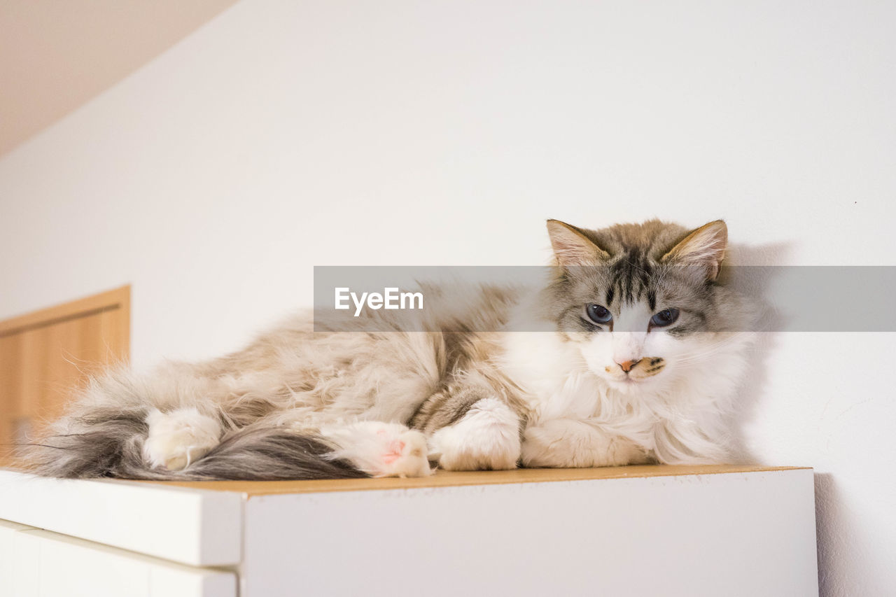 domestic cat, pets, feline, domestic animals, mammal, cat, animal themes, looking at camera, no people, indoors, portrait, day
