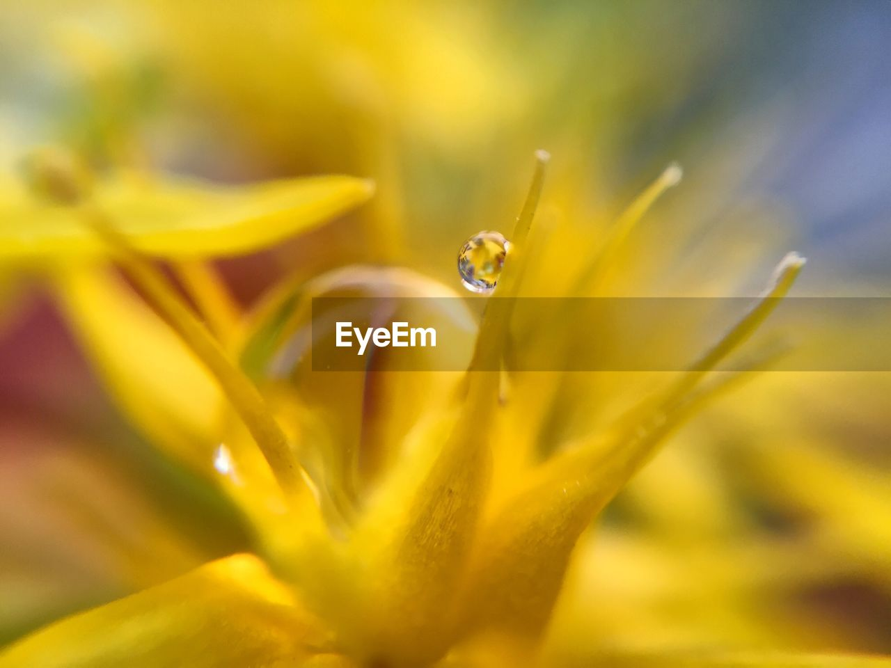 Extreme Close-Up Of Water Drop On Yellow Flower