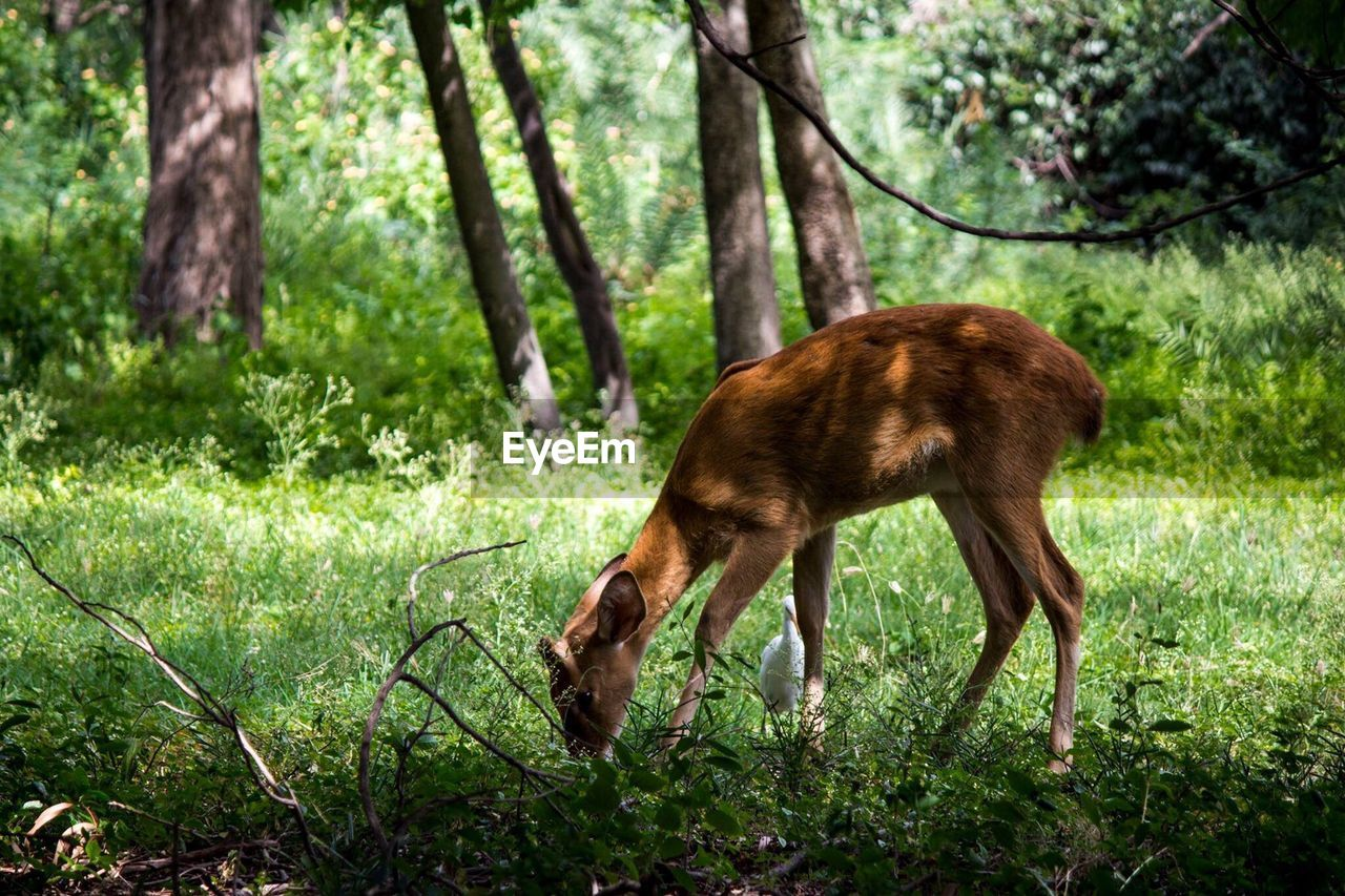 animal, animal themes, one animal, plant, mammal, animal wildlife, tree, nature, land, animals in the wild, no people, day, grass, brown, deer, standing, field, green color, domestic animals, forest, outdoors, herbivorous