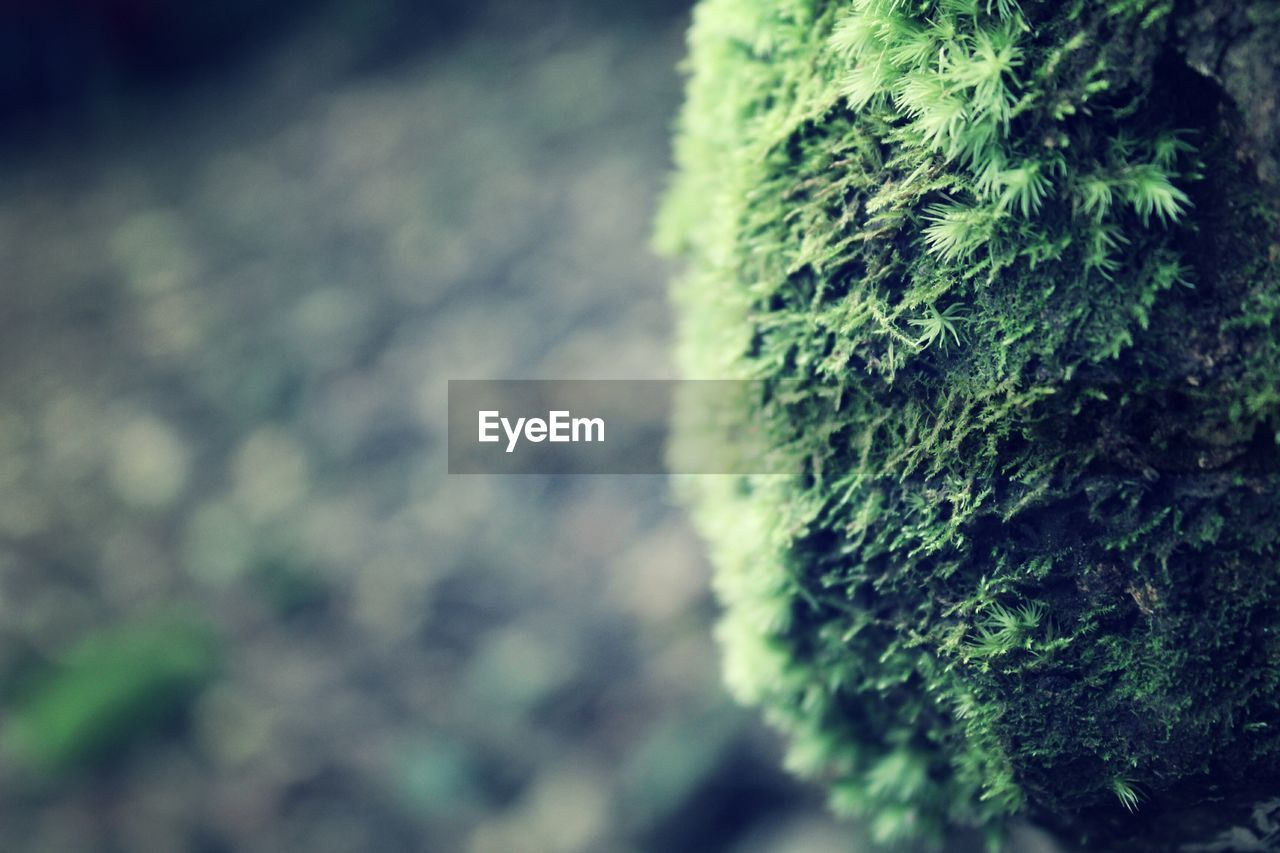 plant, tree, growth, day, close-up, focus on foreground, no people, green color, moss, nature, selective focus, beauty in nature, outdoors, tree trunk, trunk, lichen, textured, plant part, branch, wall - building feature, fir tree, coniferous tree