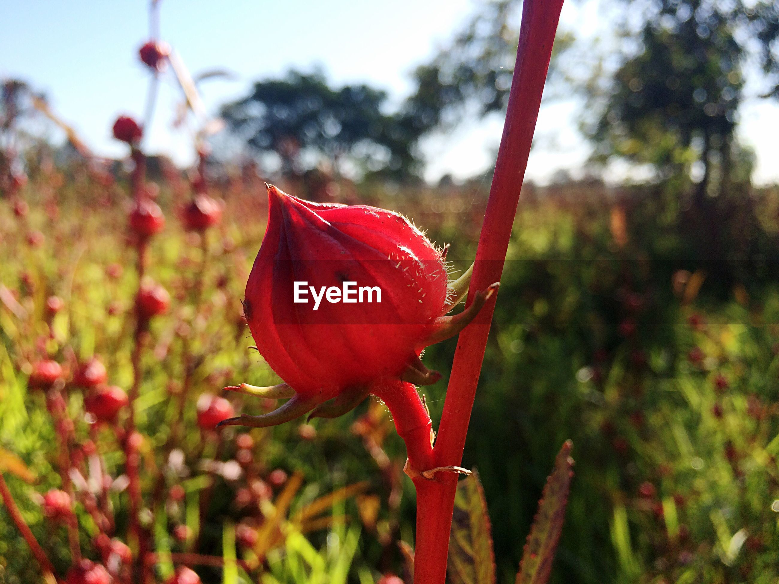 CLOSE-UP OF FRESH RED POPPY BLOOMING IN GARDEN