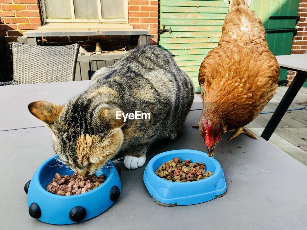 mammal, domestic, animal, pets, domestic animals, animal themes, domestic cat, vertebrate, cat, food, feline, eating, food and drink, no people, one animal, feeding, bowl, indoors, day, whisker