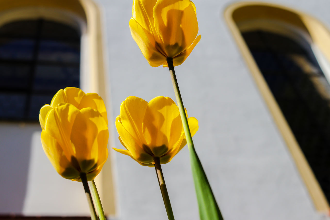 yellow, flowering plant, vulnerability, freshness, fragility, flower, petal, beauty in nature, close-up, flower head, growth, inflorescence, focus on foreground, plant, nature, no people, day, plant stem, outdoors, architecture