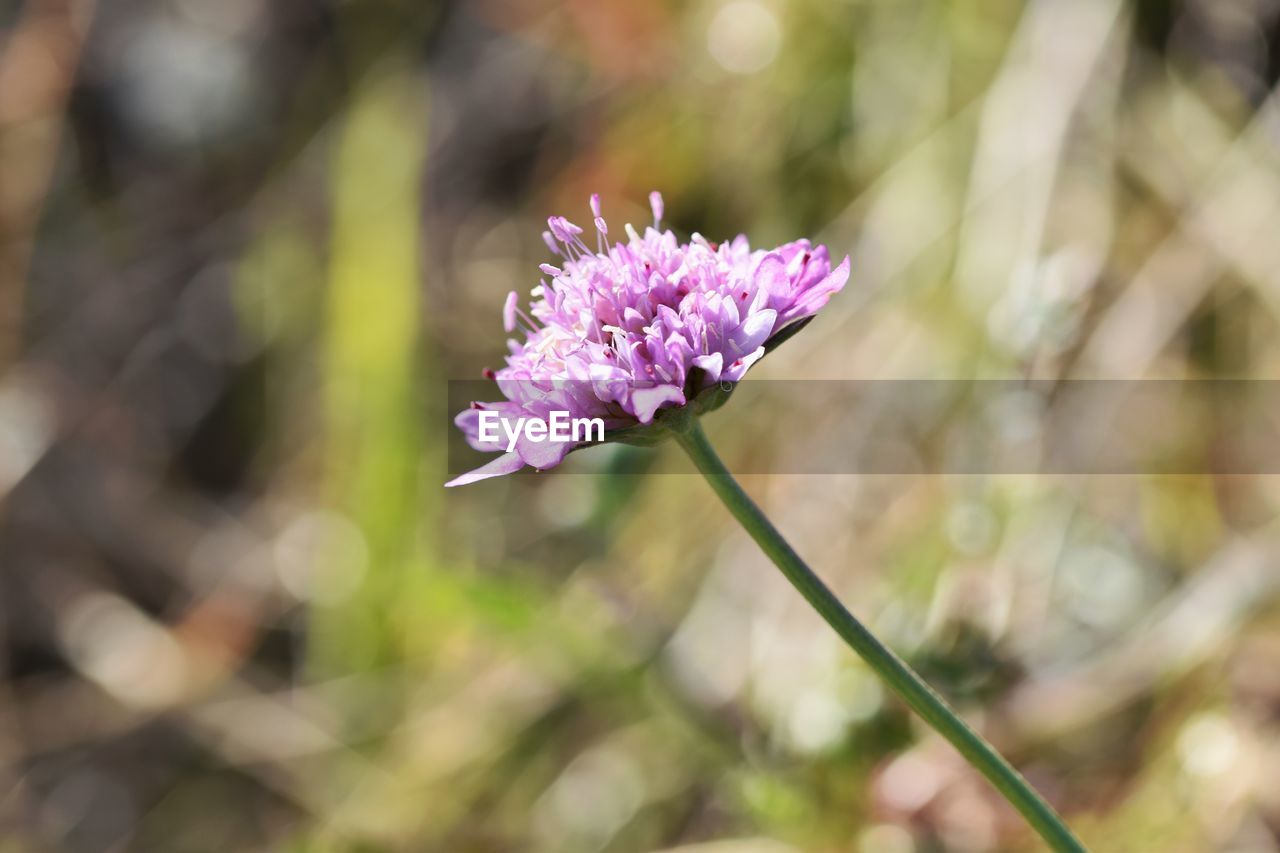 flowering plant, flower, vulnerability, fragility, freshness, beauty in nature, plant, petal, growth, close-up, flower head, focus on foreground, inflorescence, nature, pink color, day, no people, plant stem, purple