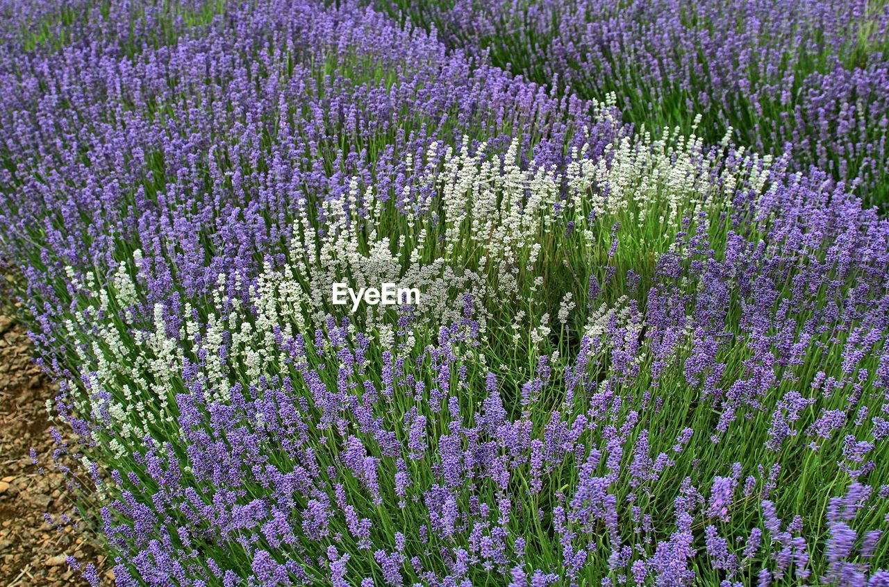 purple, lavender, flower, lavender colored, beauty in nature, nature, scented, no people, field, full frame, plant, herb, day, outdoors, fragility, perfume, freshness