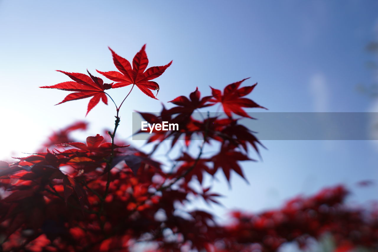 red, plant, beauty in nature, close-up, growth, focus on foreground, change, autumn, maple leaf, no people, nature, selective focus, sky, tree, day, leaf, plant part, fragility, freshness, vulnerability, outdoors, flower head, leaves