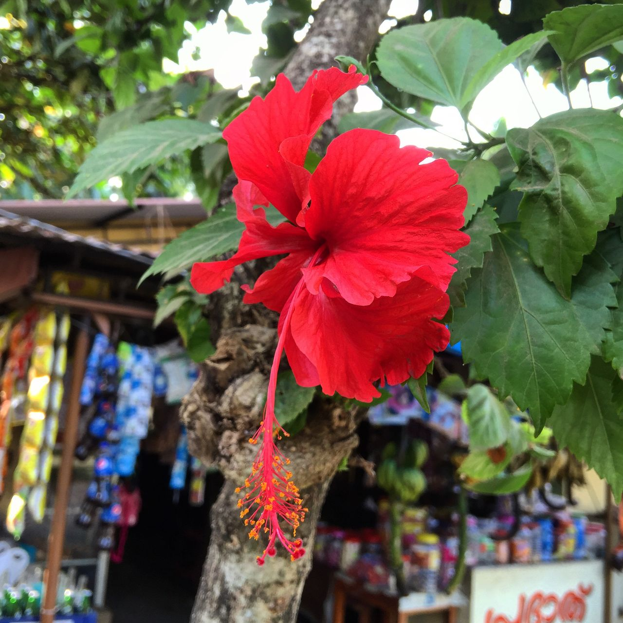 flower, red, day, outdoors, no people, fragility, growth, nature, hibiscus, petal, freshness, beauty in nature, plant, flower head, blooming, close-up, architecture, petunia