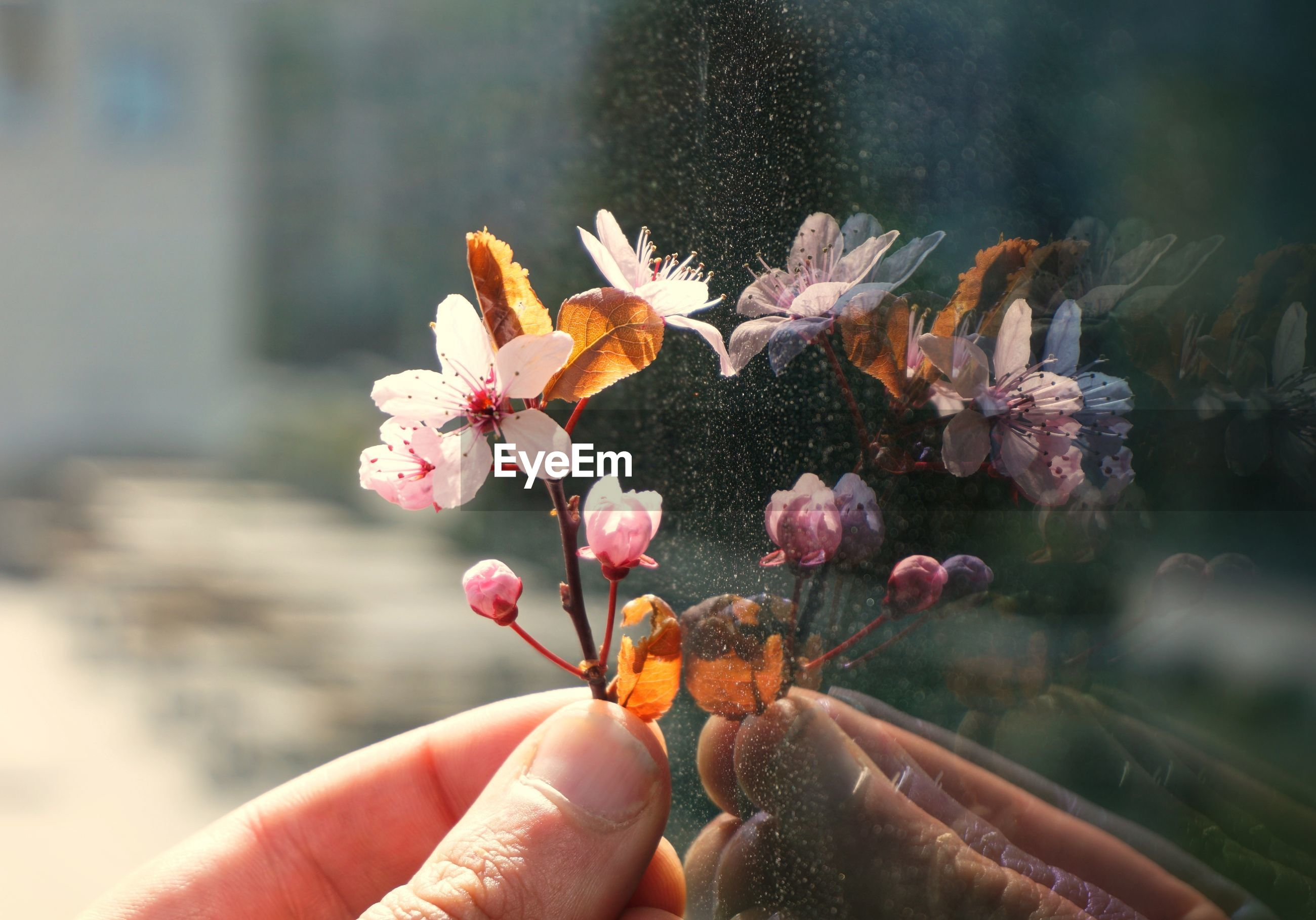 Close-up of hand holding flower by window