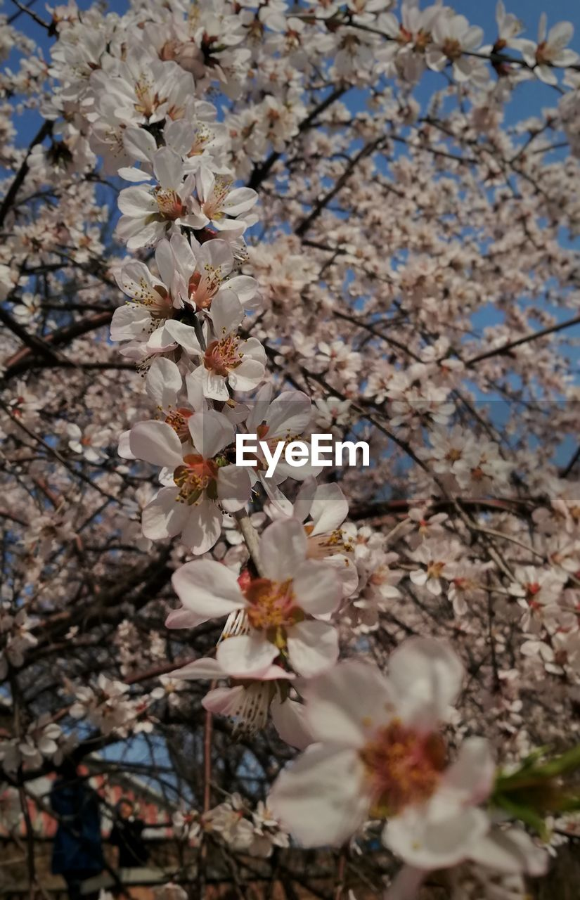 flower, blossom, tree, cherry blossom, fragility, branch, springtime, growth, beauty in nature, white color, apple blossom, cherry tree, orchard, apple tree, nature, freshness, botany, no people, petal, twig, selective focus, day, stamen, close-up, low angle view, outdoors, flower head, blooming