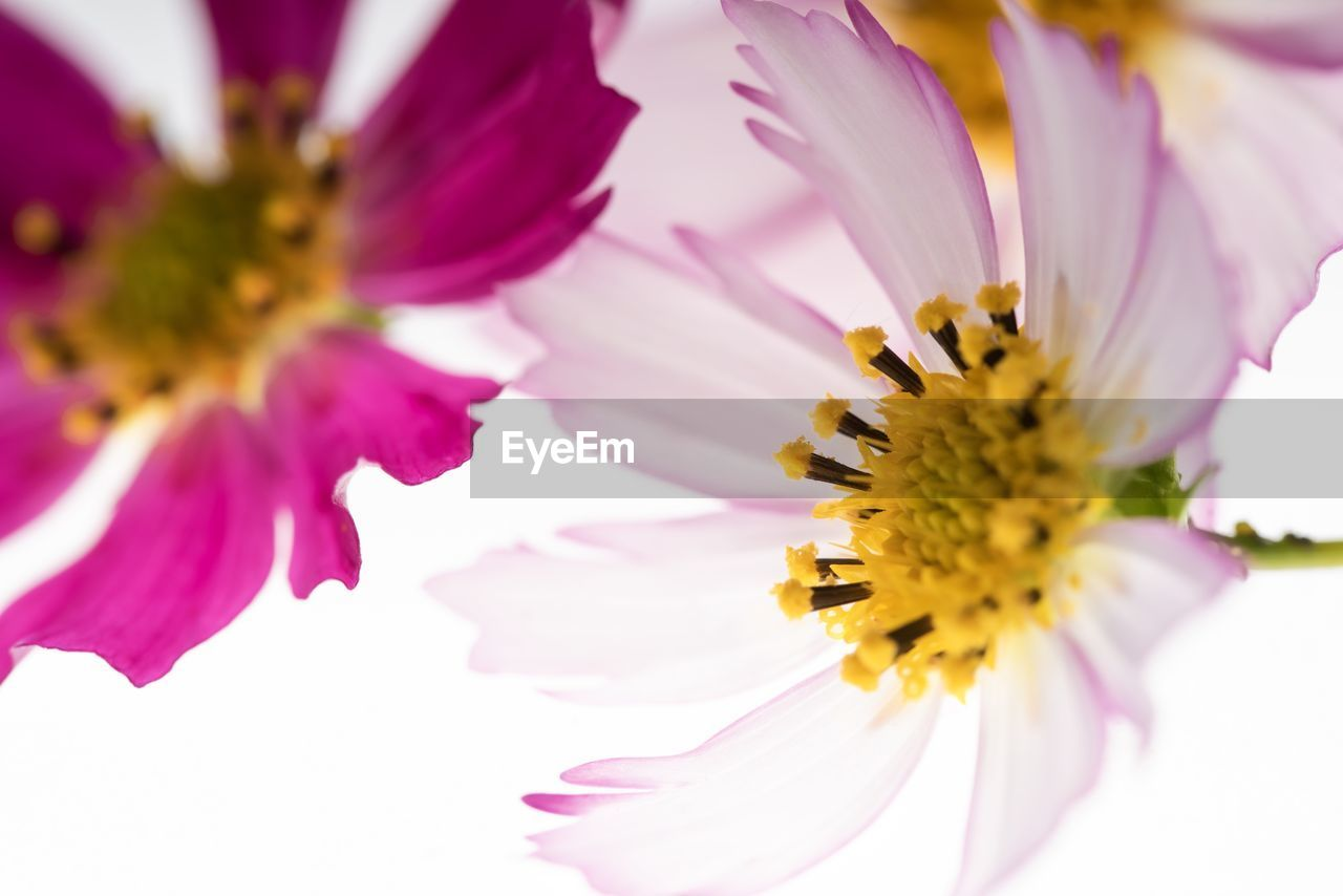 flowering plant, flower, vulnerability, petal, fragility, freshness, beauty in nature, flower head, plant, pollen, inflorescence, close-up, growth, pink color, yellow, nature, no people, selective focus, purple, pollination