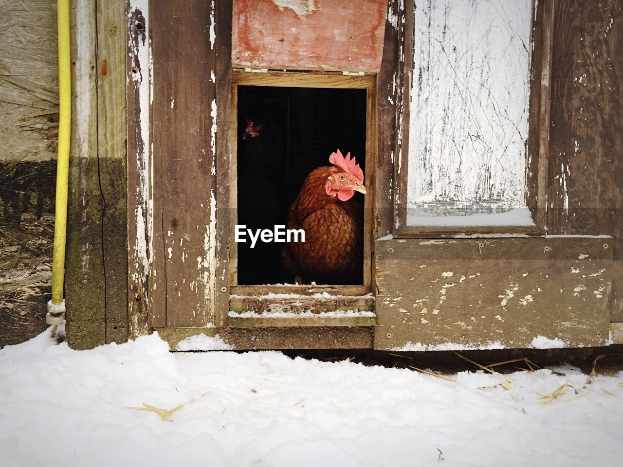Hen In Chicken Coop During Winter