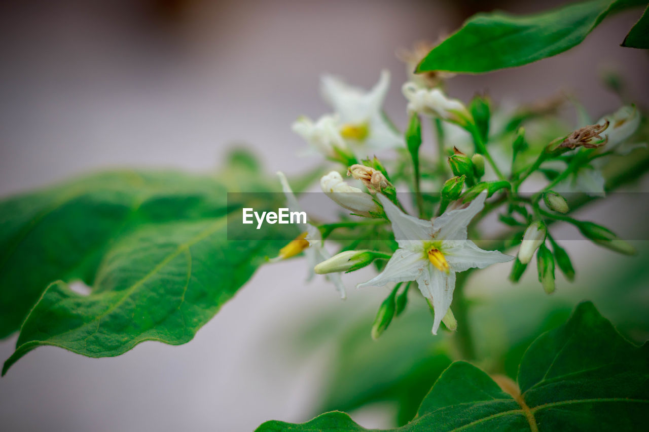 plant, leaf, plant part, growth, close-up, freshness, flower, flowering plant, green color, beauty in nature, nature, vulnerability, fragility, selective focus, no people, white color, petal, flower head, invertebrate, focus on foreground, outdoors, pollination