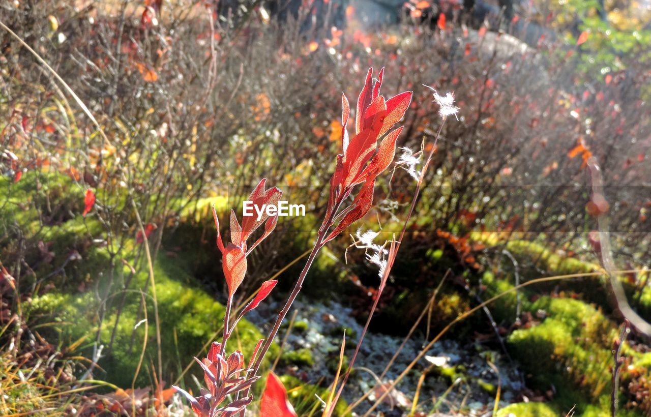 nature, no people, red, leaf, plant, growth, day, outdoors, autumn, grass, beauty in nature, close-up, freshness