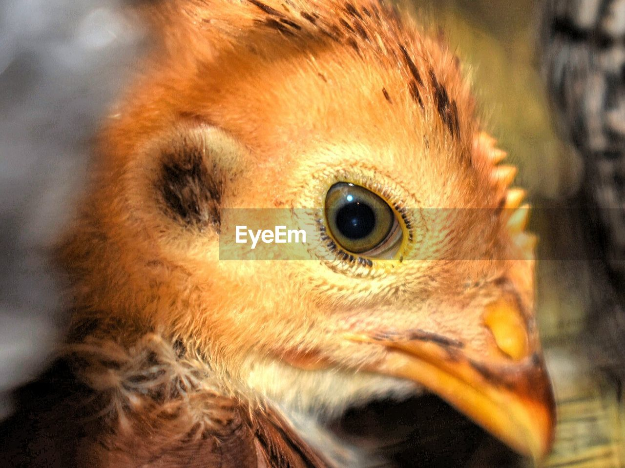 animal themes, animal, one animal, bird, vertebrate, close-up, bird of prey, animal wildlife, animals in the wild, animal body part, animal head, eye, no people, beak, focus on foreground, animal eye, day, portrait, owl, looking at camera, yellow eyes, eagle