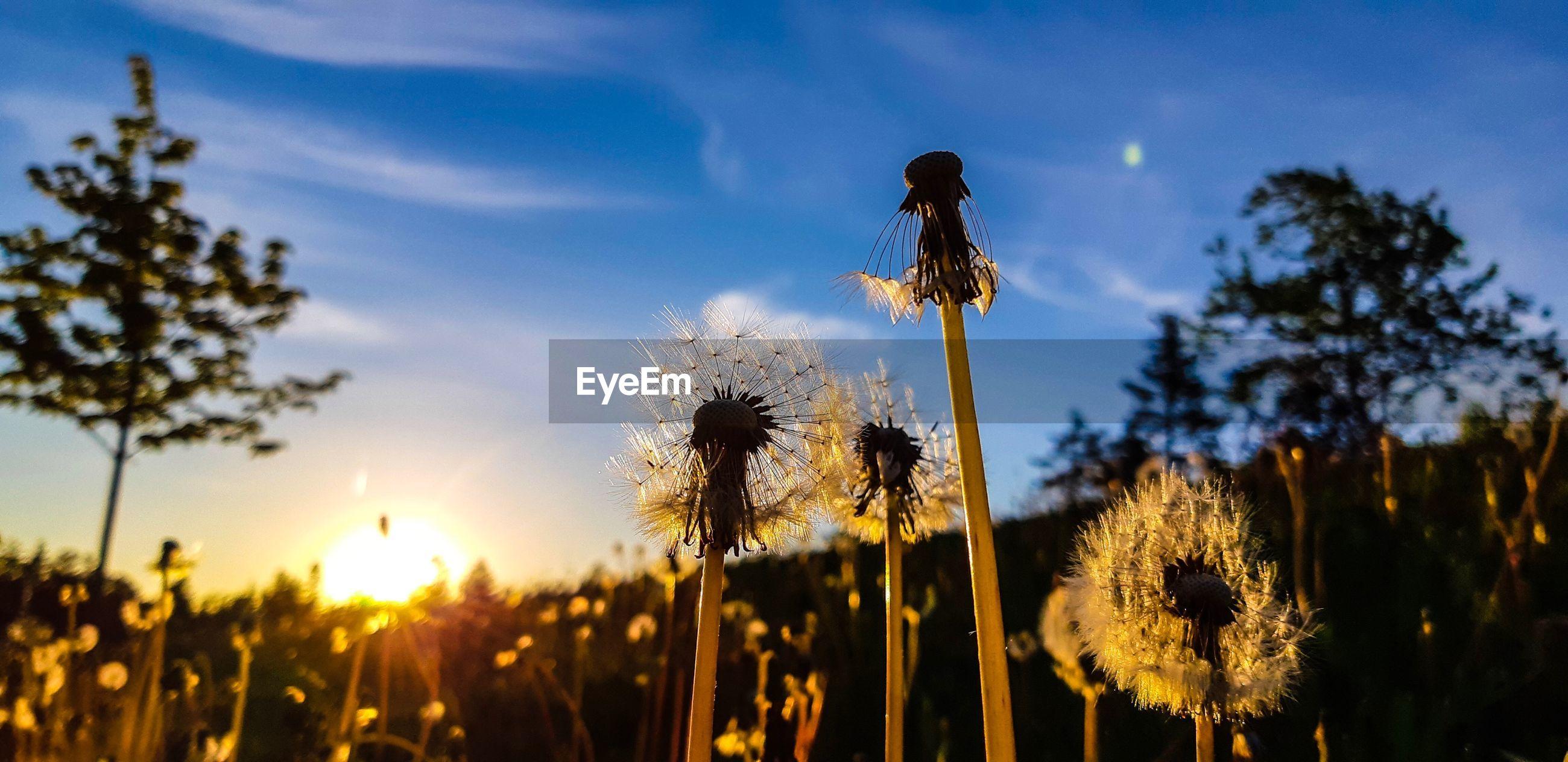 CLOSE-UP OF DANDELION FLOWER ON FIELD AGAINST SKY