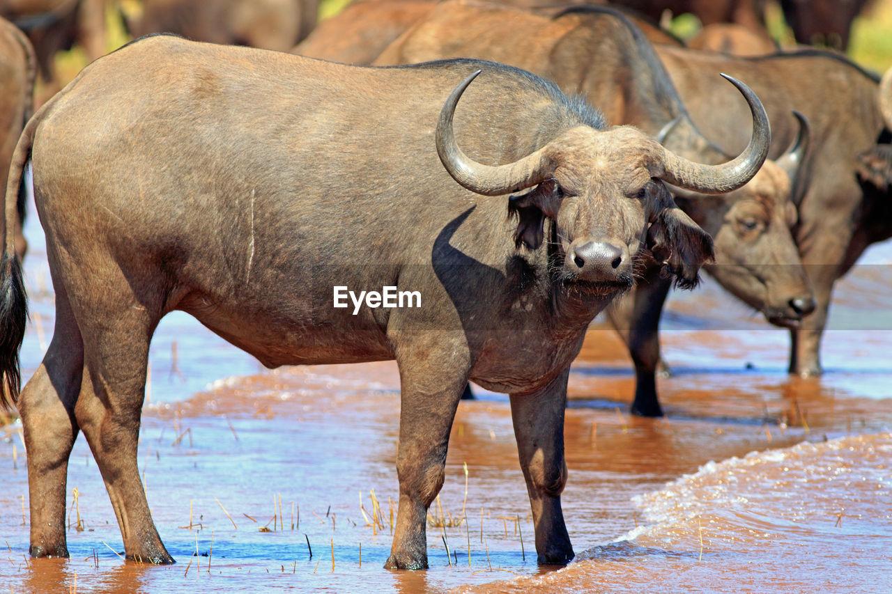 Buffaloes Standing In Lake