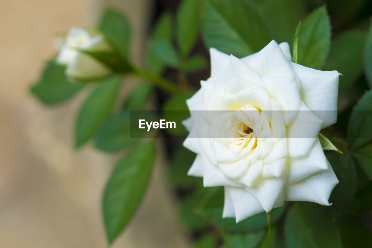 flower, flowering plant, plant, beauty in nature, petal, fragility, vulnerability, freshness, white color, flower head, inflorescence, close-up, leaf, plant part, growth, rose, rose - flower, nature, focus on foreground, no people