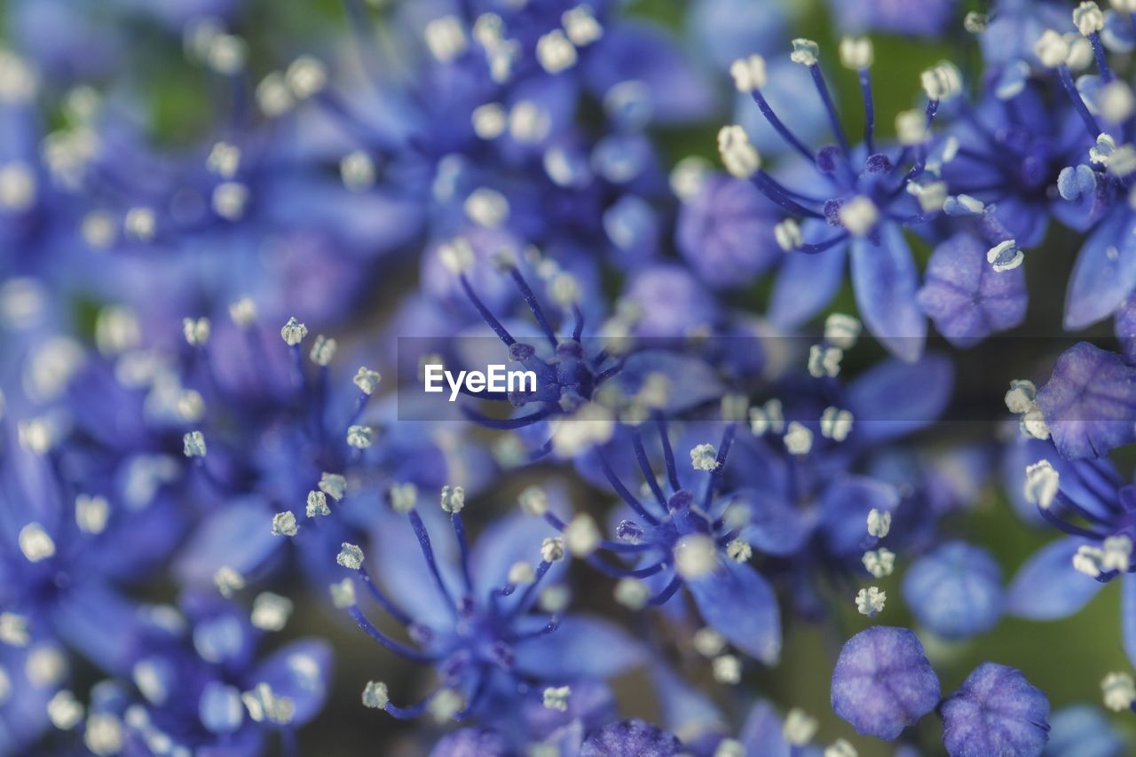 flower, flowering plant, purple, plant, vulnerability, fragility, beauty in nature, freshness, close-up, selective focus, growth, no people, nature, full frame, petal, day, blue, lavender, backgrounds, botany, flower head