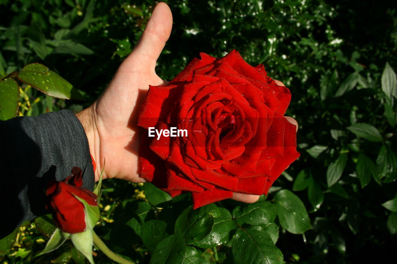 flower, rose - flower, red, leaf, petal, freshness, nature, flower head, beauty in nature, fragility, one person, plant, holding, growth, real people, love, outdoors, human hand, rose petals, close-up, human body part, blooming, day, people