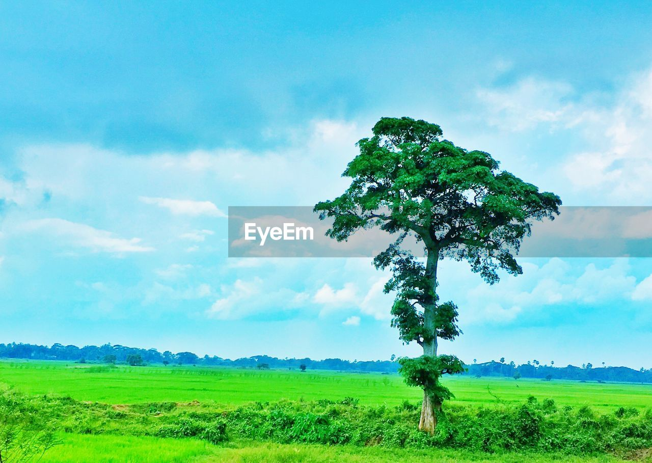 landscape, tree, nature, beauty in nature, field, green color, tranquility, scenics, tranquil scene, sky, grass, cloud - sky, growth, idyllic, green, day, no people, outdoors, lone