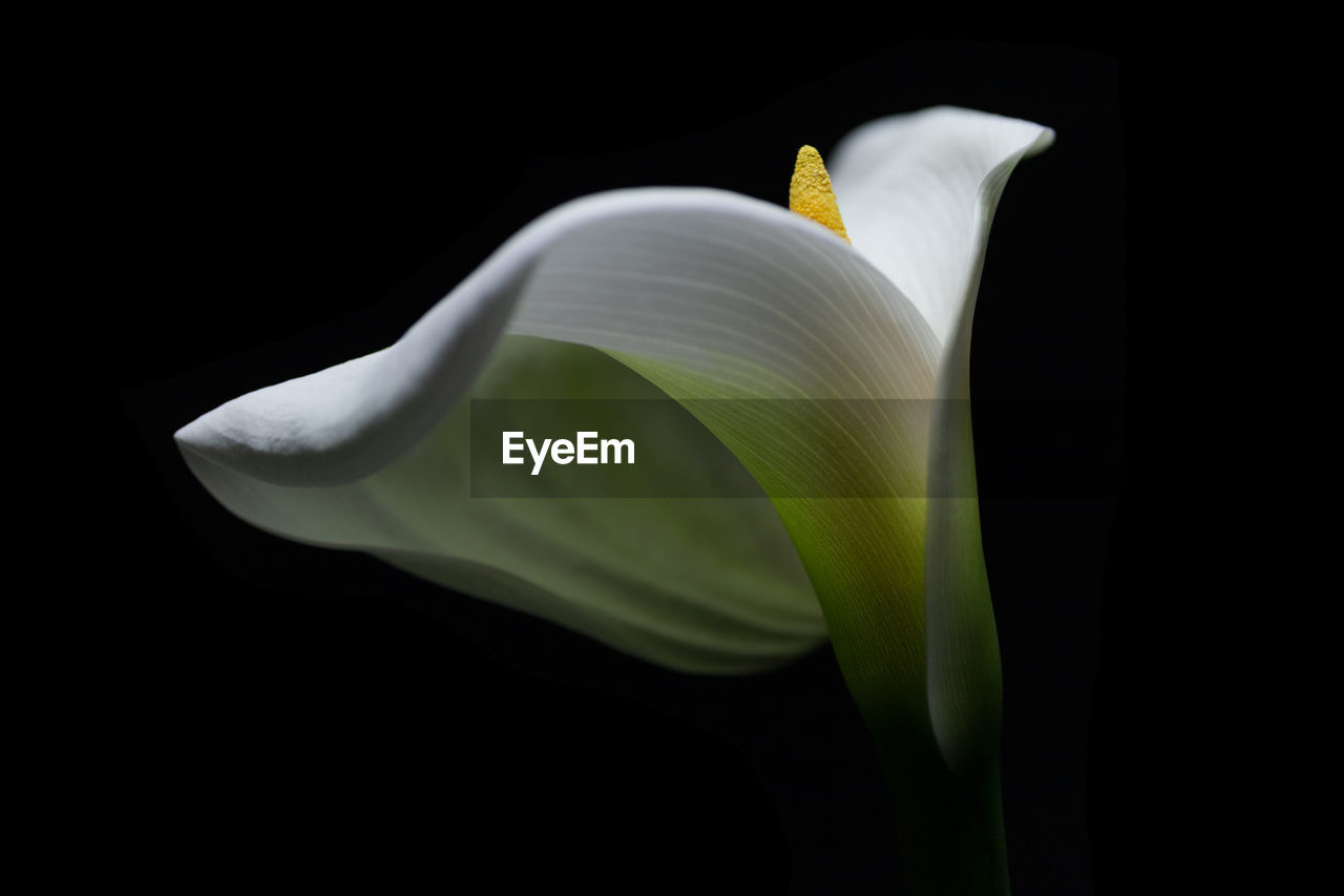 vulnerability, fragility, flowering plant, petal, flower head, close-up, inflorescence, flower, beauty in nature, calla lily, plant, studio shot, freshness, white color, black background, no people, nature, growth, indoors, pollen, soft focus, softness