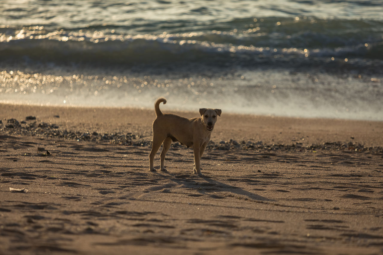 one animal, animal themes, animal, mammal, pets, domestic animals, canine, dog, domestic, land, vertebrate, beach, sea, sand, water, nature, motion, full length, running, no people