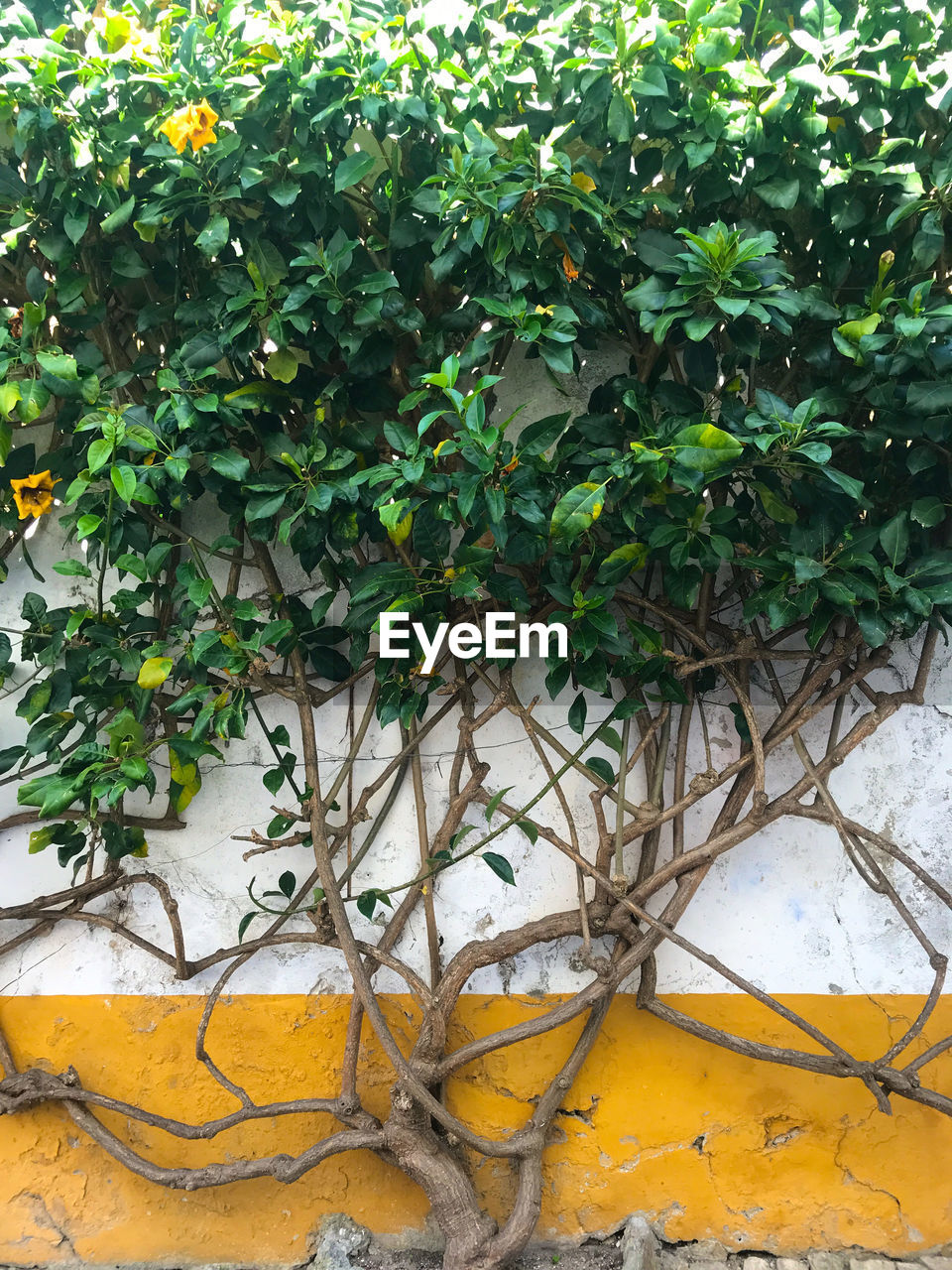 plant, growth, plant part, leaf, green color, day, no people, architecture, nature, wall - building feature, wall, built structure, outdoors, yellow, building exterior, ivy, creeper plant, front or back yard, branch, tree