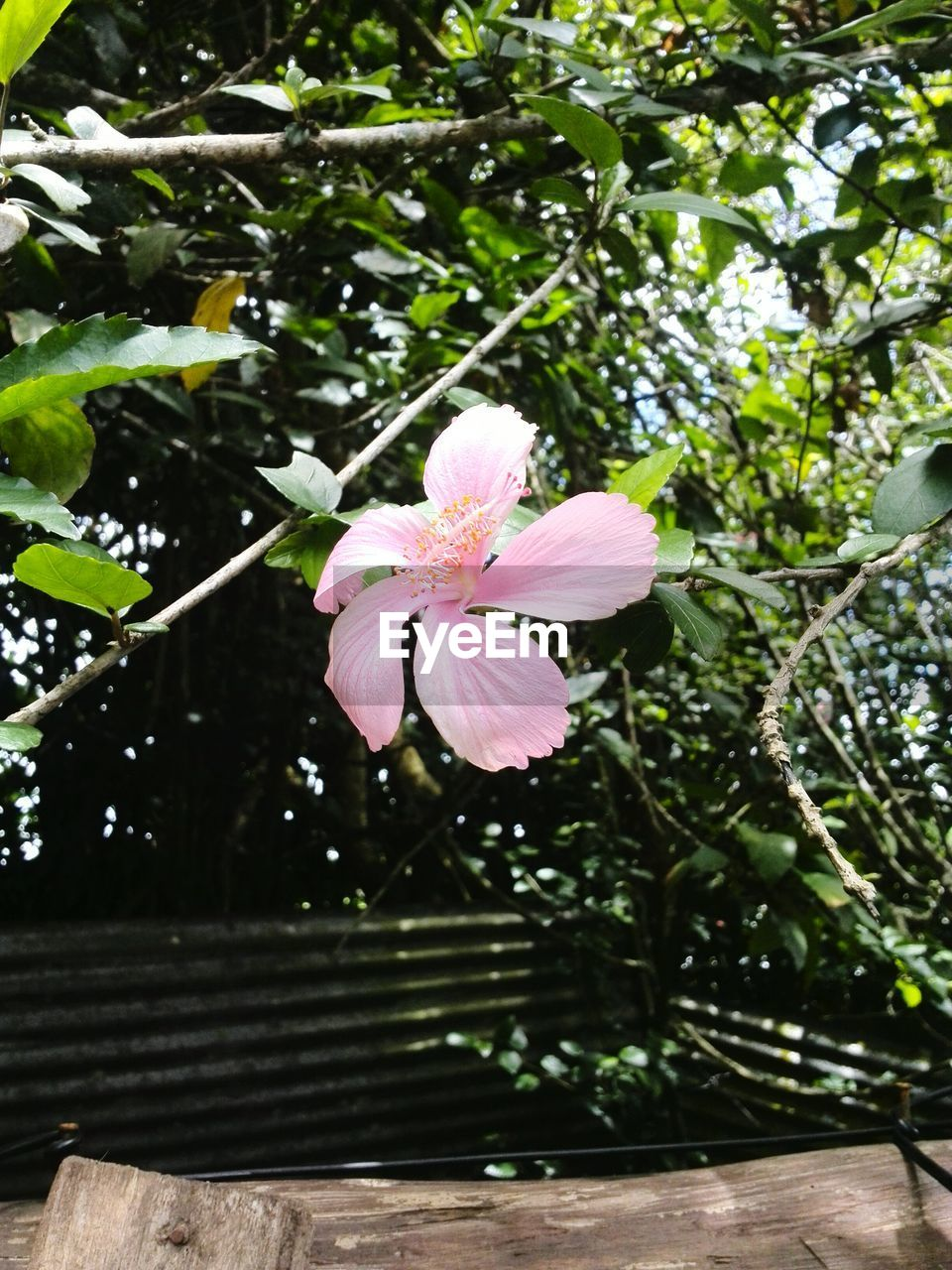 flower, fragility, beauty in nature, pink color, petal, growth, nature, freshness, no people, flower head, day, green color, outdoors, blooming, plant, close-up, periwinkle, hibiscus, tree