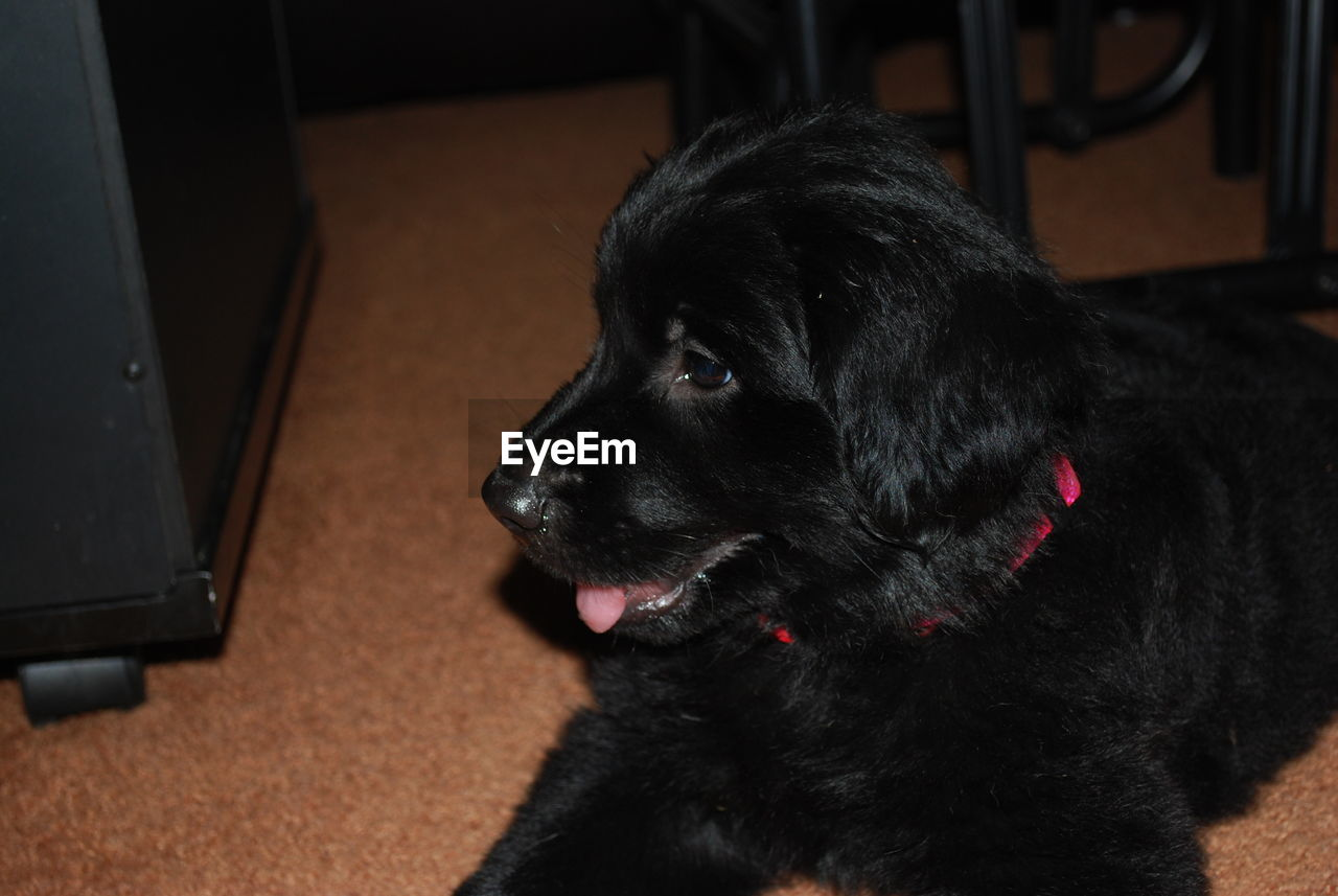 pets, dog, domestic animals, one animal, black color, animal themes, mammal, indoors, home interior, close-up, no people, day