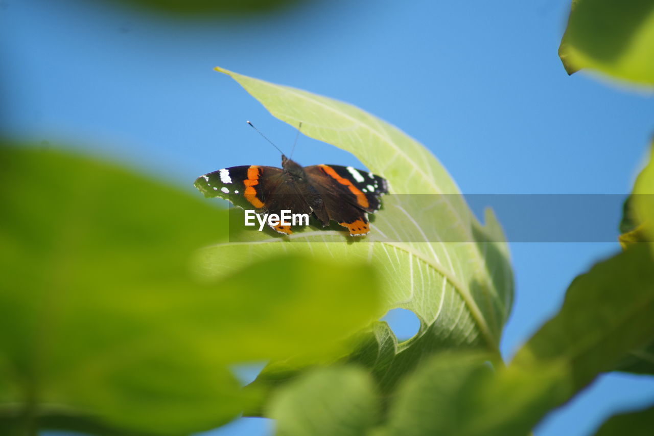 BUTTERFLY POLLINATING ON LEAF