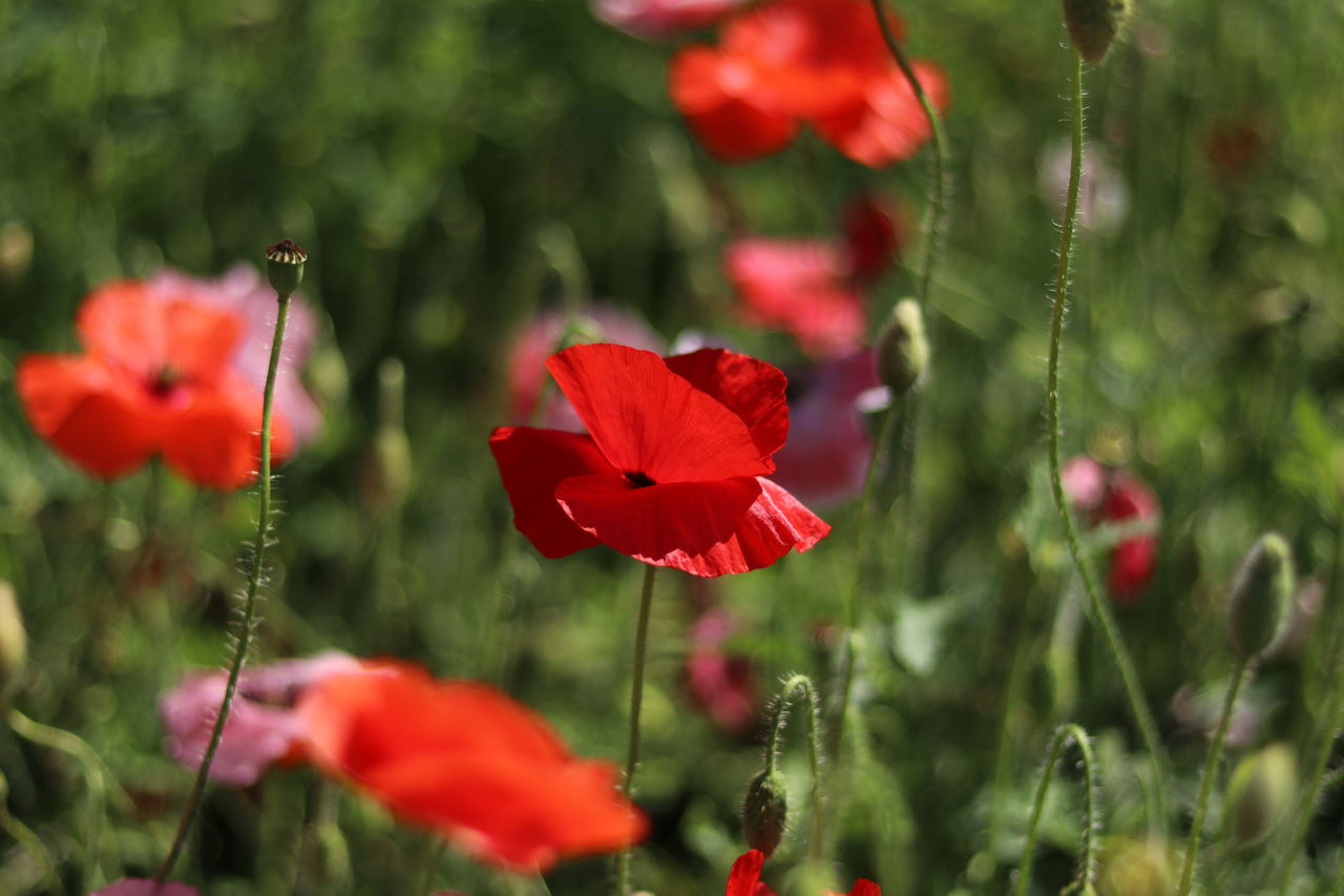 flower, growth, red, nature, beauty in nature, plant, fragility, no people, petal, freshness, poppy, flower head, blooming, day, outdoors, close-up