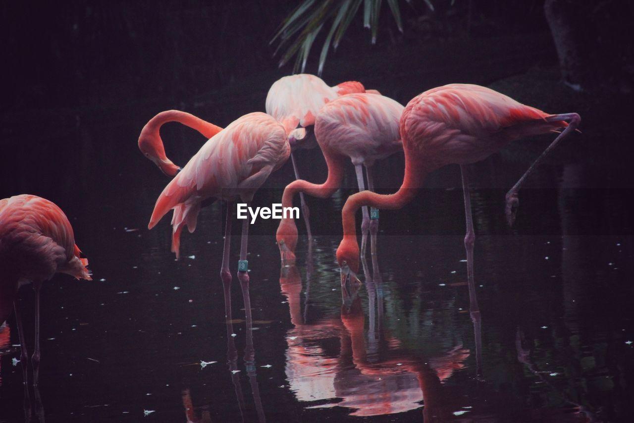 Flamingos Foraging In Lake
