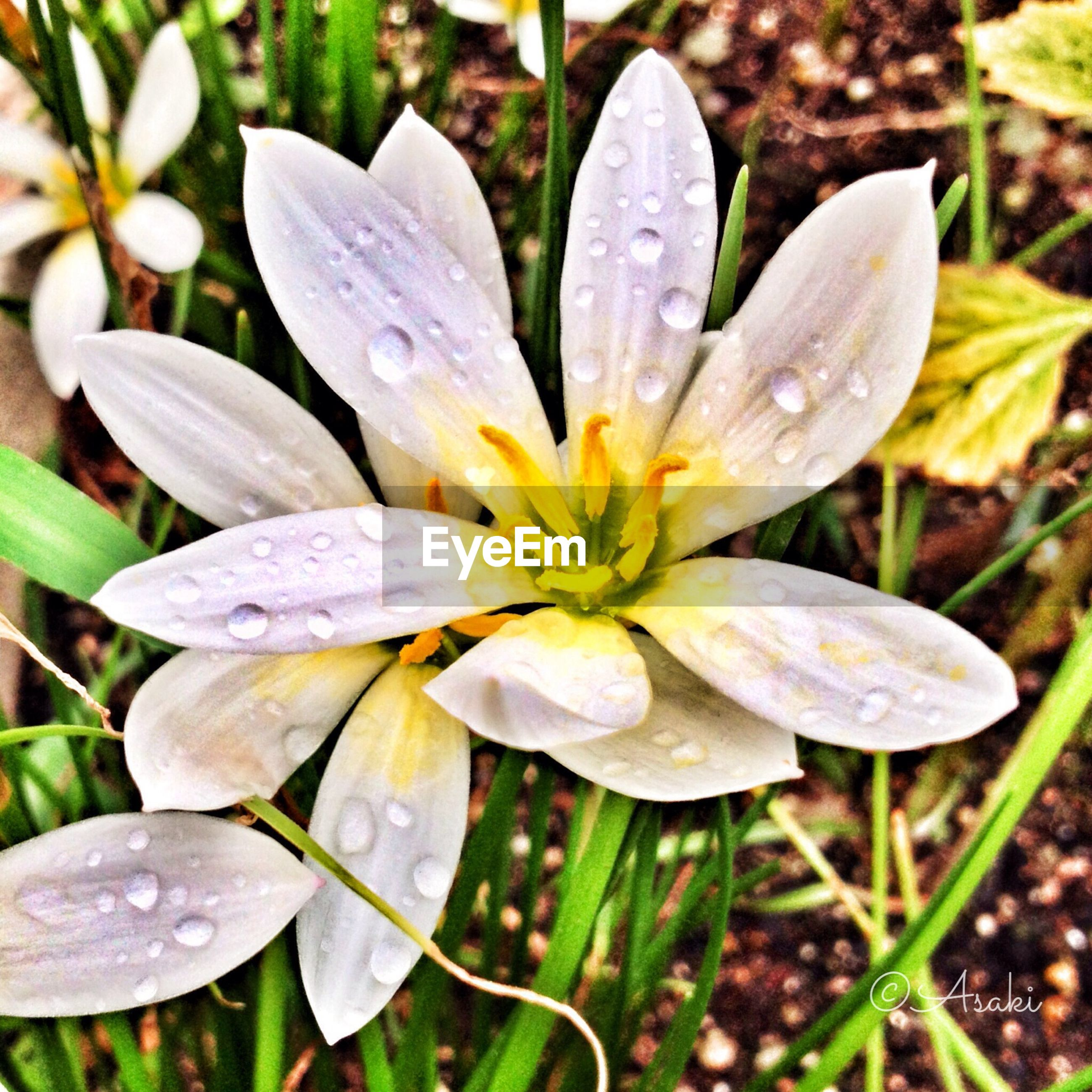 freshness, flower, petal, fragility, drop, flower head, wet, growth, water, close-up, beauty in nature, dew, nature, single flower, focus on foreground, blooming, pollen, raindrop, in bloom, season